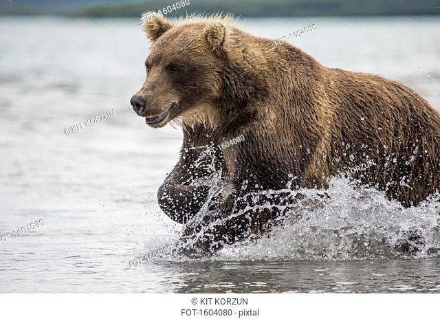 Kamchatka brown bear moving through water, Kurile Lake, Kamchatka Peninsula, Russia