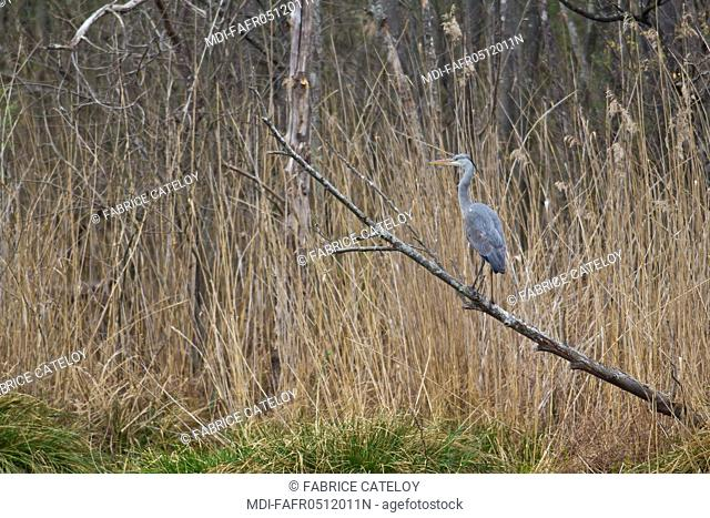 Nature - Fauna - Bird - Grey heron on a branch