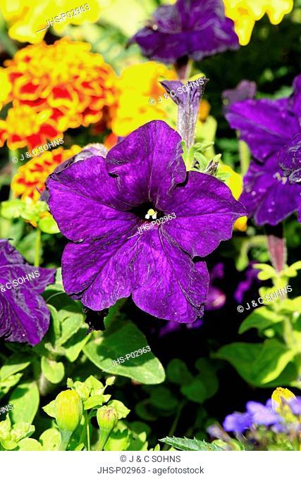 Petunia,Petunia multiflora,Ellerstadt,Germany,Europe,blooming