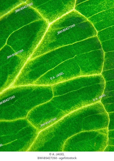 Italian lords-and-ladies, Italian arum (Arum italicum), leaf detail, shining-through light