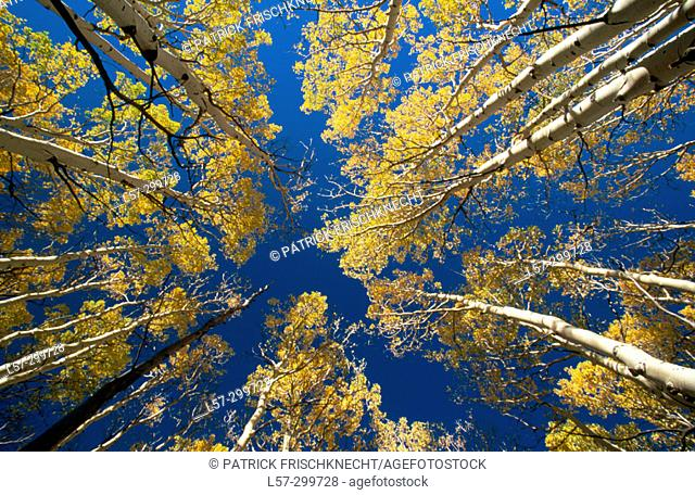 Aspens (Populus tremula) in fall colours. Boulder Mountain. Utah, USA
