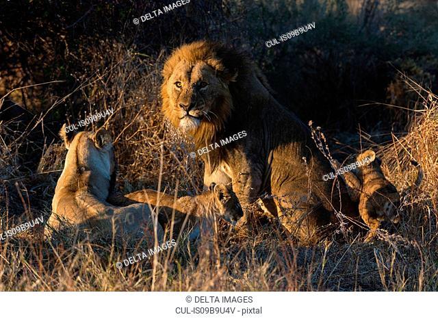 Lion family (Panthera leo), with cubs, Okavango Delta, Botswana