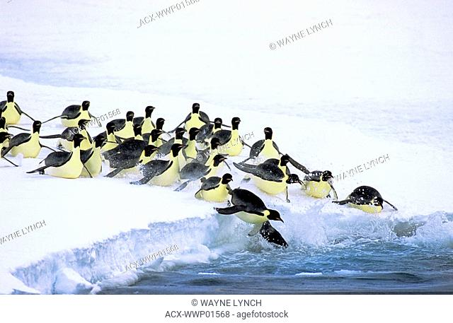 Emperor penguins Aptenodytes forsteri leave on a foraging trip to sea from their nesting colony at Drescher Inlet, 72 Degrees South in the Weddell Sea