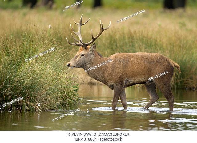 Red deer (Cervus elaphus) stag, standing in a pond, Surrey, United Kingdom