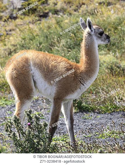 Chile, Magallanes, Torres del Paine, national park, young guanaco, chulengo, lama guanicoe,