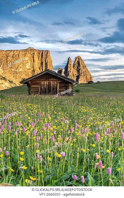 Alpe di Siusi/Seiser Alm, Dolomites, South Tyrol, Italy. Meadow full of flowers on the Alpe di Siusi/Seiser Alm. In the background the peaks of Sciliar/Schlern