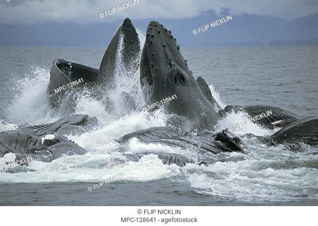 HUMPBACK WHALES (Megaptera novaeangliae),  ENGAGE IN COOPERATIVE GULP FEEDING ON  HERRING SCHOOL, SOUTHEAST ALASKA
