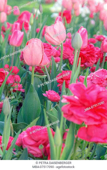 Tulips and ranunculus in a bed