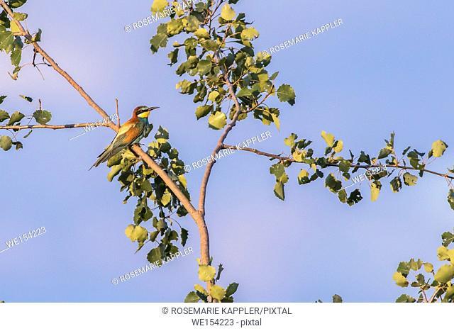 Germany, Saarland, Homburg - An eurasian bee-eater on the edge of a sandpit