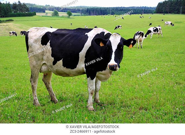 Cows on a grassland, Yssingeaux, Haute Loire, Auvergne, France