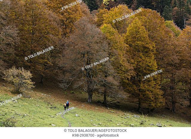 bosque de hayas otoñal en Artiga de Lin, valle de Aran, lleida, Catalunya, Pyrenees Mountains, Spain