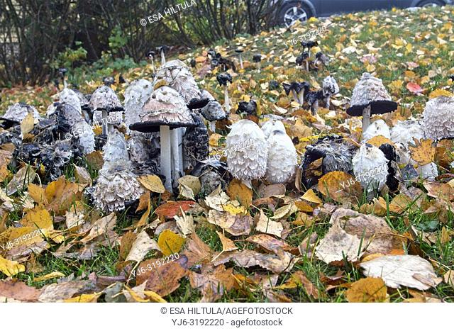 Coprinus comatus, shaggy ink cap mushrooms, Finland Europe