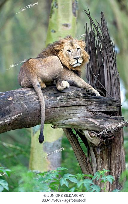 African Lion (Panthera leo). Male lying on a broken-off tree