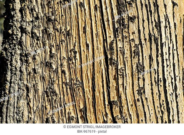 Weather-beaten wood, Juniper tree bark, Western Juniper (Juniperus occidentalis var. occidentalis), High Desert, Oregon, USA