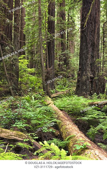 Giant redwoods, Sequoia sempervirens, along the Avenue of the Giants in Northern California, USA