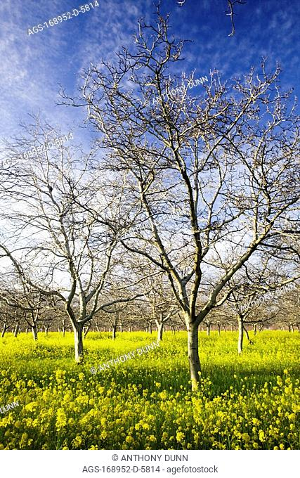 Agriculture - Dormant walnut orchard in Winter with blooming mustard carpeting the orchard floor / near Gridley, California, USA