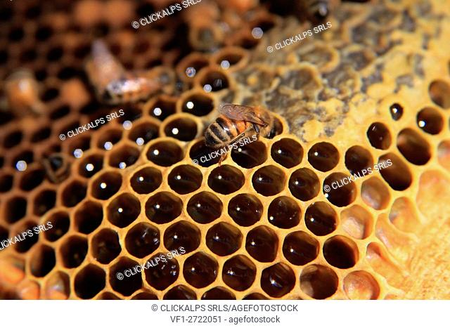 A bee producing honey, a typical product from Valtellina, Lombardy Italy Europe