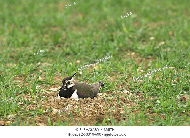 Northern Lapwing Vanellus vanellus adult, raindrops on feathers, sitting on nest in cereal crop field, Norfolk, England, april