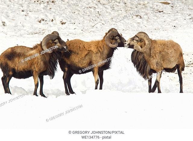 Two American blackbelly sheep appear to be stopped by the leader