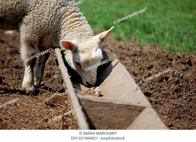 Lamb eating from a trough