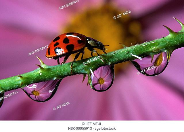 Asian Ladybird Beetle (Harmonia axyridis) walking over a stem with water drops with a purple flower in the background, Belgium
