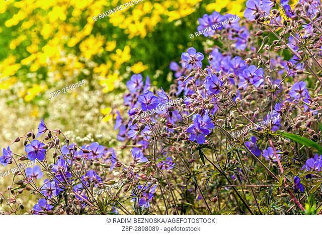 Coreopsis verticillata 'Grandiflora' and Geranium pratense