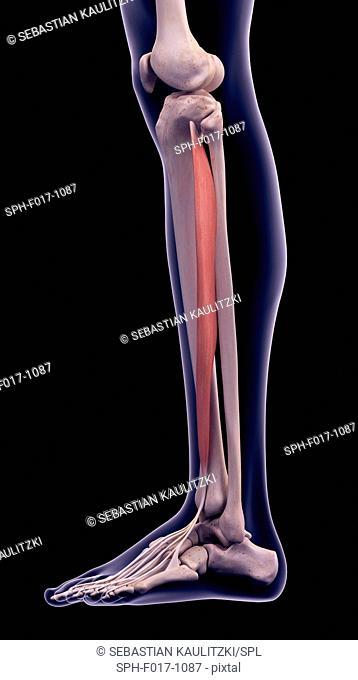 Illustration of the extensor digitorum longus muscle