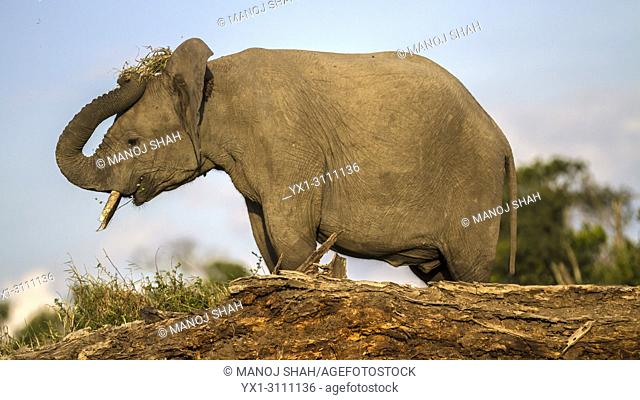 African Elephant shaking soiil from grass roots while feeding in Ol Pejeta, Laikipia