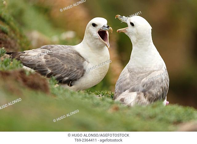 Northern Fulmar Fulmaris glacialis. Ireland