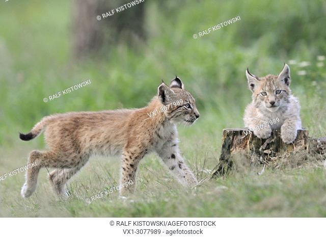 Two cute juvenile Eurasian Lynx ( Lynx lynx ) playing with each other, Europe