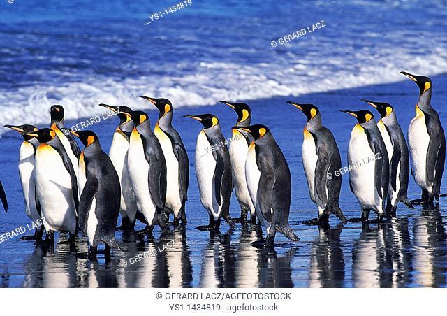 KING PENGUIN aptenodytes patagonica, GROUP WALKING ON BEACH, SALISBURY PLAIN IN SOUTH GEORGIA