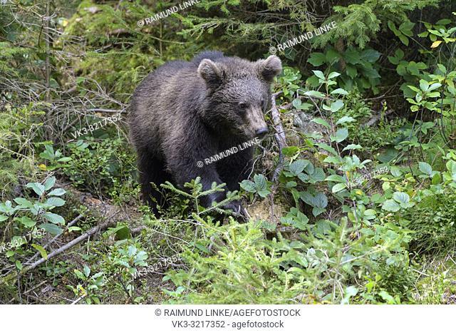 Brown bear, Ursus arctos, cub in forest, Germany