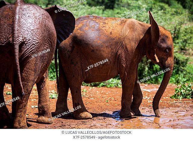 Young elephants, Loxodonta africana, in Sheldrick's Elephant Orphanage, Nairobi Game Park, Kenya