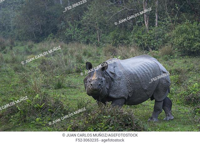 One-horned Asian rhinoceros (Rhinoceros unicornis), Chitwan National Park, Inner Terai lowlands, Nepal, Asia, Unesco World Heritage Site