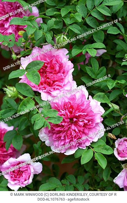 Rosa roxburghii f. roxburghii