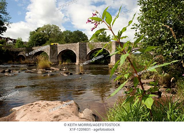 Himalayan Balsam plant growing by Old bridge over the River Usk at Llangynidr, Powys, Wales UK