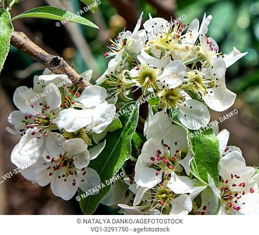 branch with white blooming pear flowers, full frame