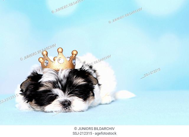 Biewer Terrier. Puppy (8 weeks old) lying, wearing a fcrown. Studio picture against a blue background. Germany
