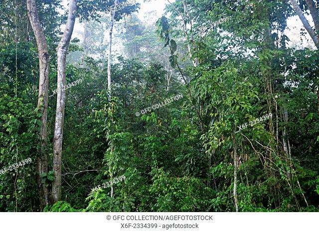 Dense vegetation of the Amazon rain forest, Tambopata National Reserve, Madre de Dios, Peru