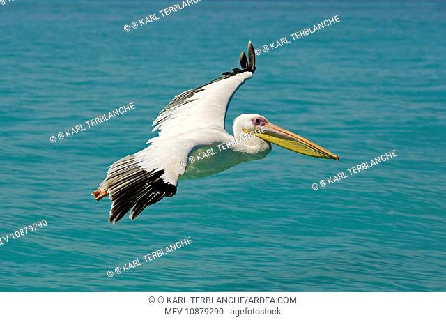 Great White Pelican - in flight over the ocean (Pelecanus onocrotalus). Atlantic Ocean - Namibia - Africa