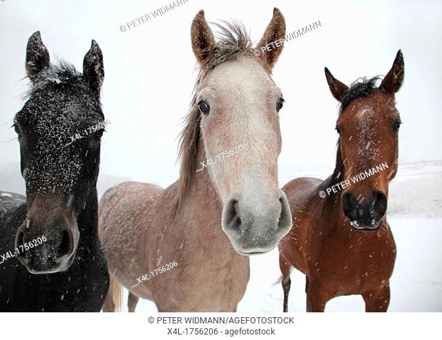 Horses in a pasture in winter