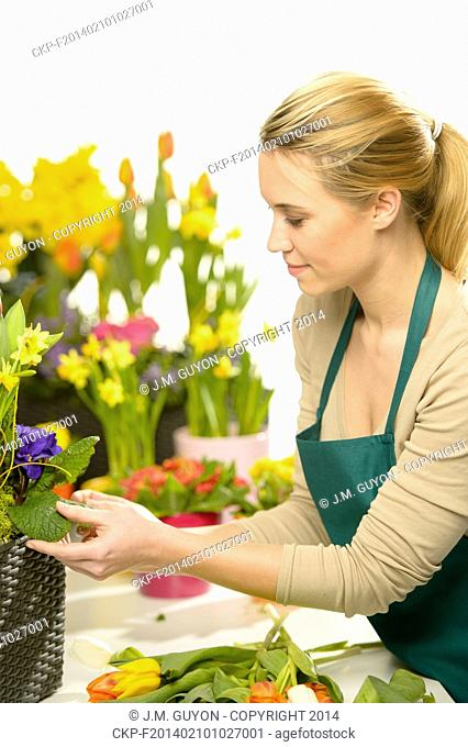 Florist arrange spring flowers colorful potted narcissus, tulips
