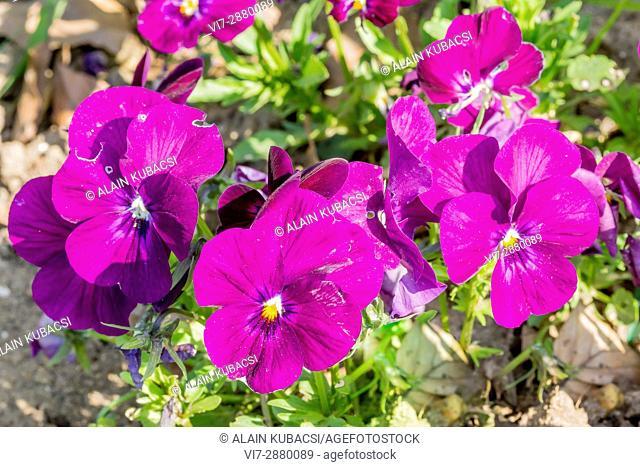 Sorbet Raspberry Viola / Viola cornuta 'Sorbet Raspberry'