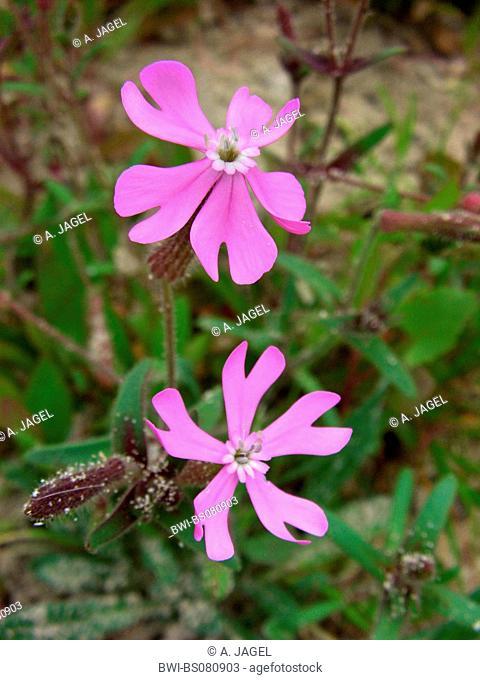 Silene cambessedesii, Campion (Silene cambessedesii), flowers, endemic to the Balearic Islands, Spain, Balearen, Majorca