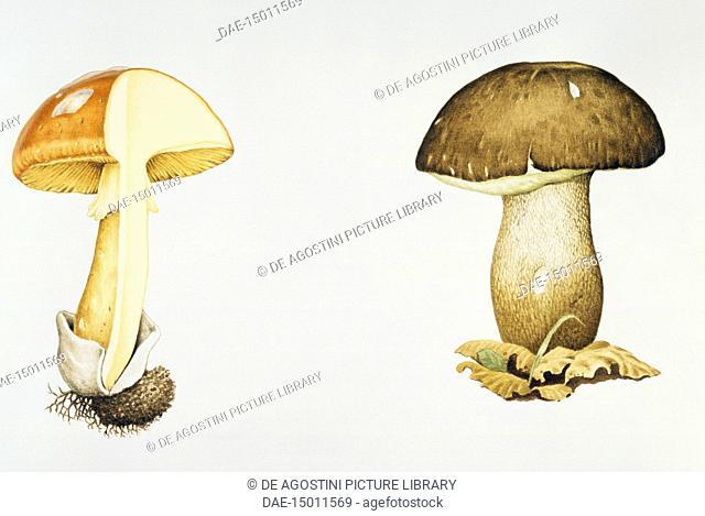 Black porcini (Boletus aereus), Boletaceae, and Caesar's Mushroom (Amanita Caesarea), Amanitaceae, drawing