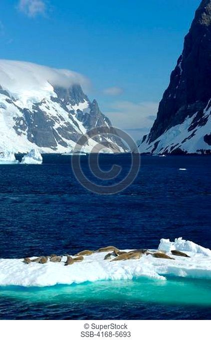 ANTARCTICA, ANTARCTIC PENINSULA, LEMAIRE CHANNEL, CRABEATER SEALS ON ICEFLOE