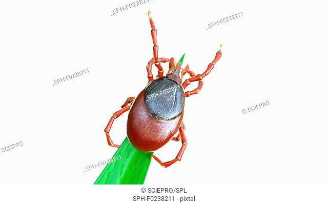 Illustration of a tick waiting for prey