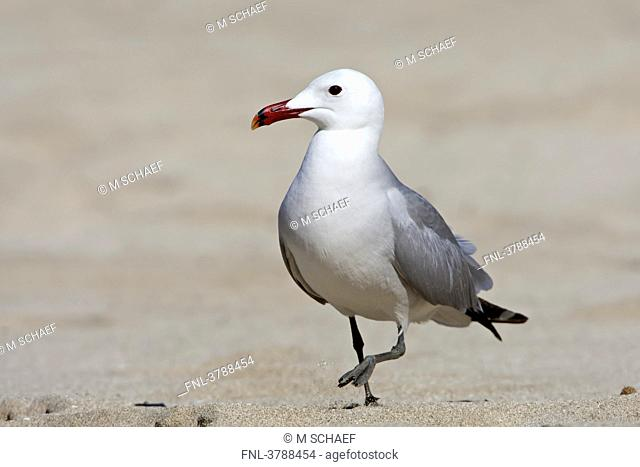 Audouin's Gull Larus audouinii walking on beach
