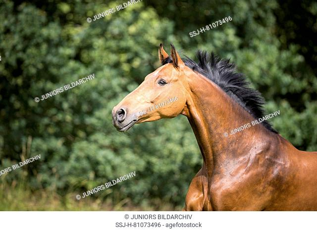Holsteiner Horse. Portrait of bay mare, with mane flowing. Germany