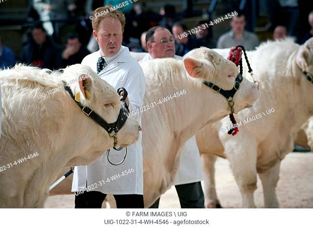 Showing Charolais cattle at a pedigree sale in Borderway Mart - Cumbria. (Photo by: Wayne Hutchinson/Farm Images/UIG)